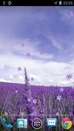 Lavender Live