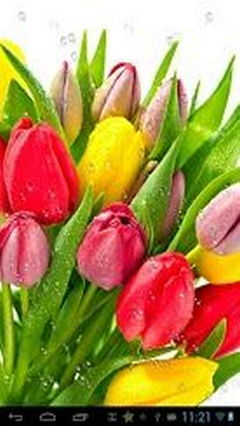 Dew drops on tulips