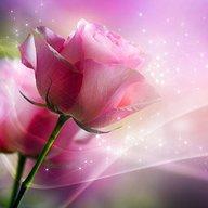 Hoa hồng màu hồng