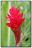 Bunga Jahe Merah Wallpaper Download Ke Ponsel Anda Dari Phoneky