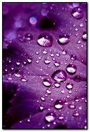 Dew Purple HD