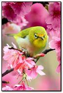 Lovely-Japanese-White-Eye-Bird