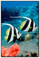 Two Clown Fish