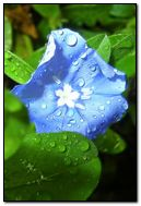 Blue Leaf Plant With Water Drop