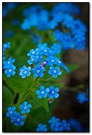 Little Blue Purple Flowers