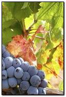 Grape Wine.