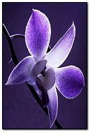 Lilac.480.800