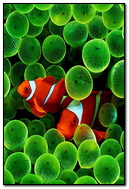 IPhone Clown Fish