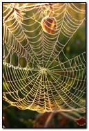dew on spider