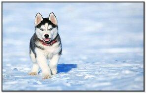 Husky Cute
