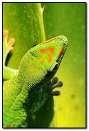 Gecko On Tropical