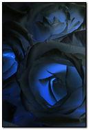 Dark Blue Roses