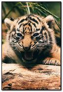 Tiger Cub Roar
