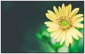 Ненасыщенные желтые цветы-обои-1280x768