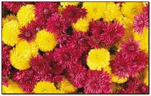 Желто-красные цветы