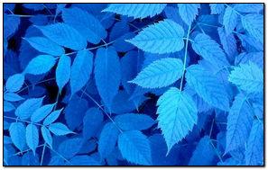 Mavi yapraklar