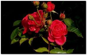 Rose đẹp