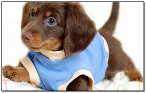 可爱的贵宾犬