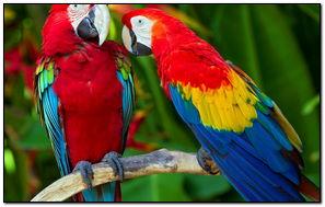 Chim vẹt