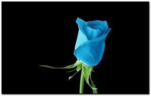 Light Blue Rose - 922874