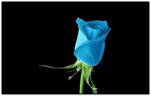 Light Blue Rose - 922874