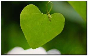 Aşk Yaprağı