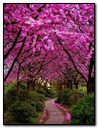 Road under Pink Flower Trees