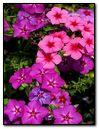 Pink & Purple Flowers