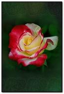 Red White Rose On An Emerald Background 640х960