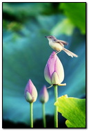 Bird On Lotus