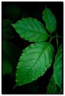 Leaves & Drops