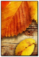 Yellow Autumn Leaves Close Up Wood Texture