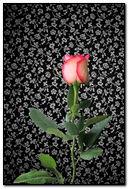 Rose & Flowers