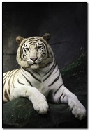 Attractive White Tiger iPhone 6 Wallpaper