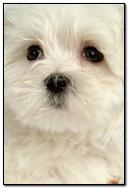 Pretty Shaggy Dog iPhone 6 Wallpaper