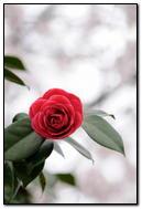 Wonderful Red Rose