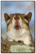 Portrait d'écureuil.
