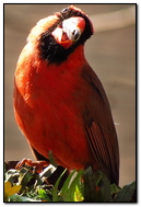 Northern Cardinal (Male).