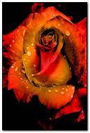 Dew Drop Rose