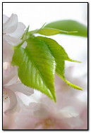 Flowers White Green Leaves