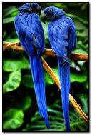 낙원 앵무새