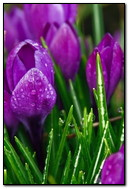 Fresh Purple Tulips