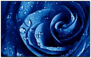 Wet Drops On Blue Rose