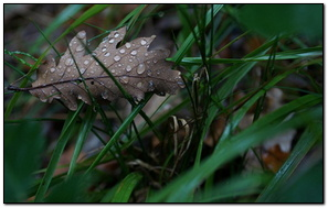 Wet Oak Leaf