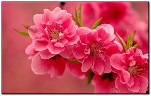 Những bông hoa màu hồng