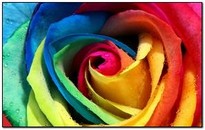 Hoa hồng 17
