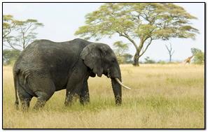 Elephant Mac Os X Lion