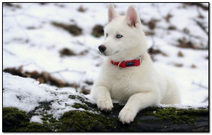 White Cute Husky Dog