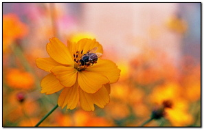Bee Sitting On A Orange Flower