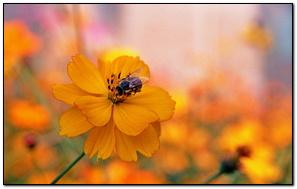 Bee Sitting On A Orange Flower